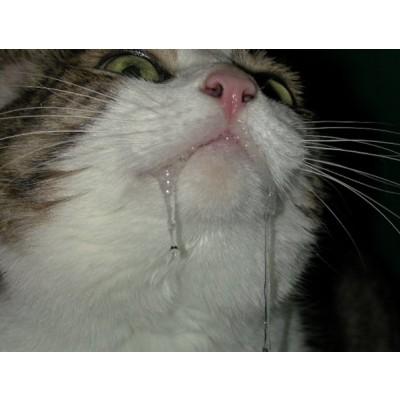 слюни у кошки, у кошки пена изо рта, текут слюни у кота
